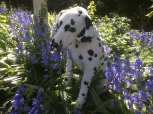 Spot sniffing the bluebells